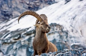 wildlife zermatt 2