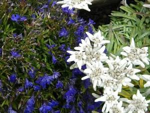 edelweiss 4