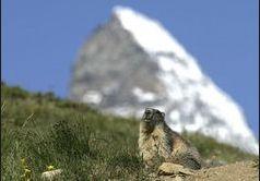 WS000001 marmot