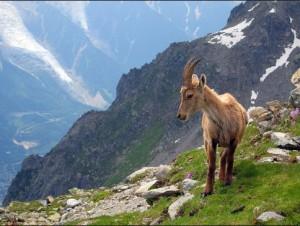 WS000004 ibex